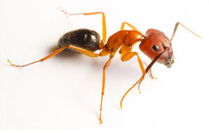 Ant Exterminator in Ocean Pines, MD