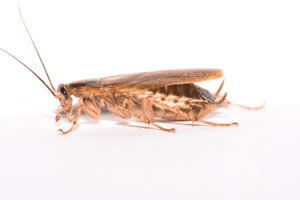 Cockroach Control in Rehoboth Beach, DE