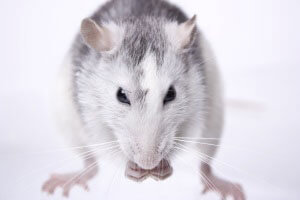 Rodent Control Services in Laurel, Delaware