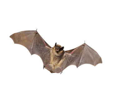 Greenwood, DE, Bat Problem