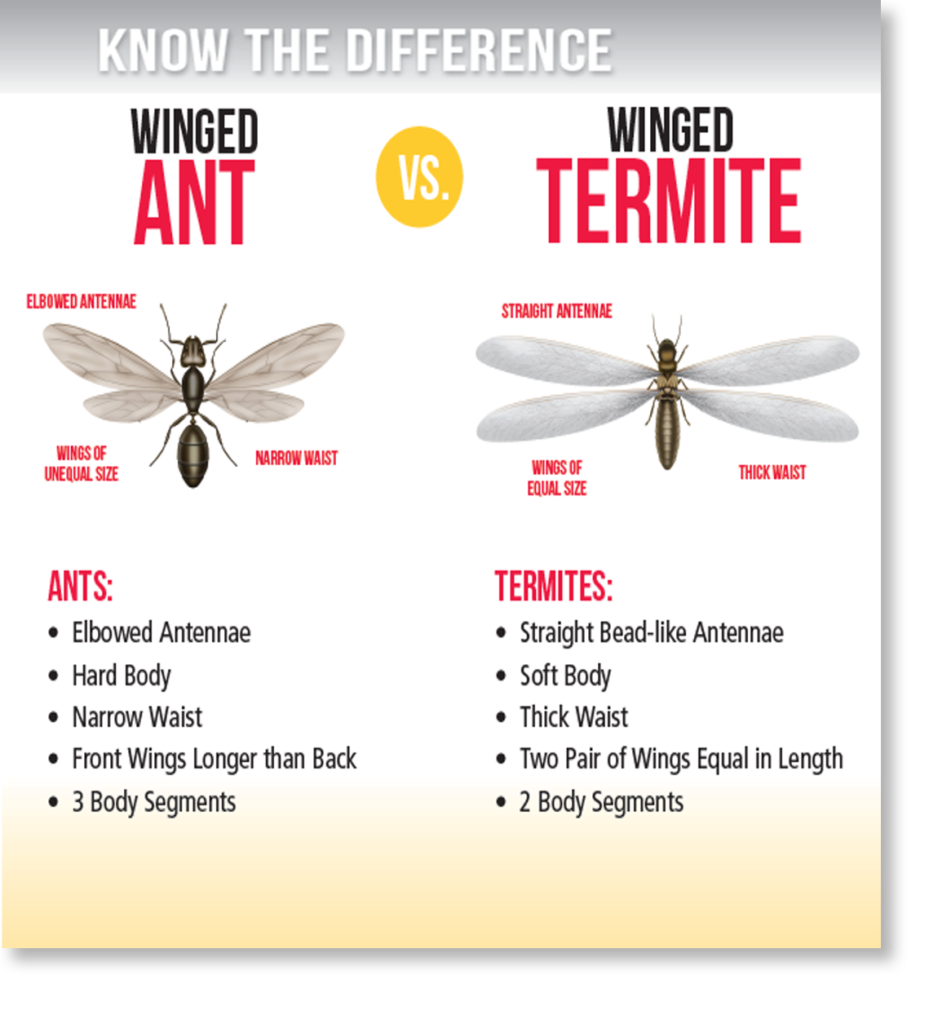 Flying Termites Vs Flying Ants Activ Pest Solutions