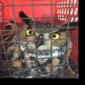 Rescued Owl in Lewes