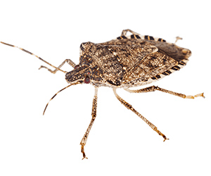 Stink Bug Control Services in Greenwood, Delaware