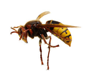 Wasp Removal in Delaware